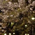 Photos: 桜と灯り
