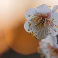 写真: 朝の梅
