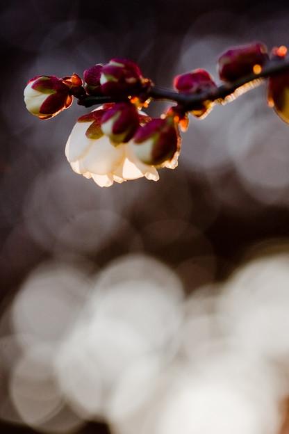 キラキラの梅