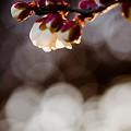 写真: キラキラの梅