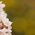 Photos: 桜と黄色