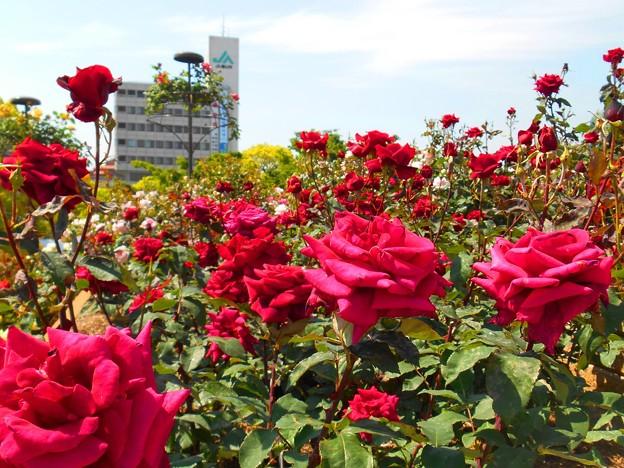 緑町公園の赤い薔薇たち