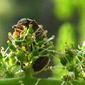 Photos: 葡萄の花って、おいしいネ~
