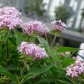 Photos: 06-09-30 薄いピンクのペンタス (別名 : クササンタンカ)