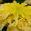 Photos: 06-09-30 黄色のハゲイトウ (別名 : ニシキゲイトウ / アマランサス)