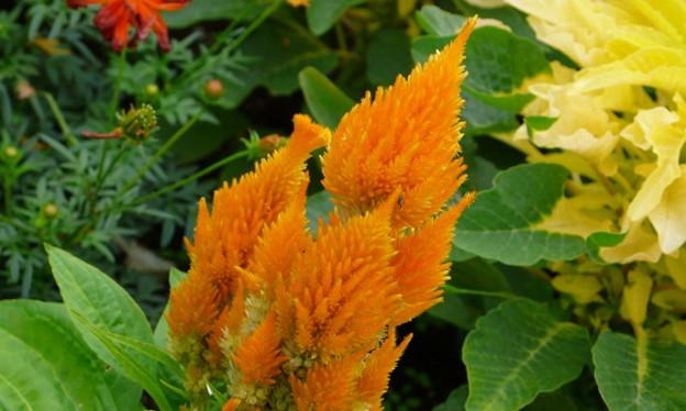 06-09-30 オレンジのフサゲイトウ (別名 : ウモウゲイトウ / セロシア)