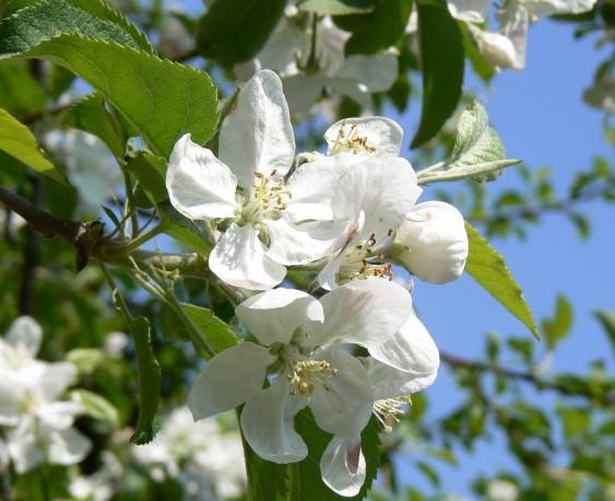 06-05-04 りんごの花(栃木県矢板市にて)
