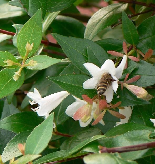 06-06-28 アベリアと 蜂