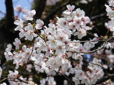 okazakizyou sakuramaturi-210328-20