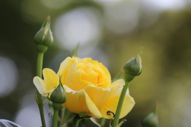 サプライズなバラ
