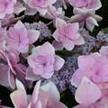 紫陽花の親子