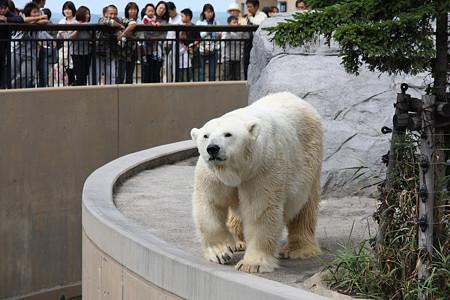 旭山動物園(白熊)