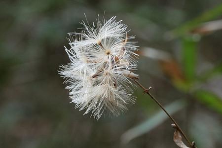 カシワバハグマの綿毛