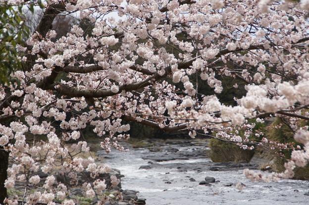 桜_川 C04010