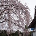 Photos: しだれ桜 C04096