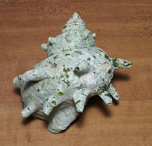 サザエの貝殻(misc/0311)