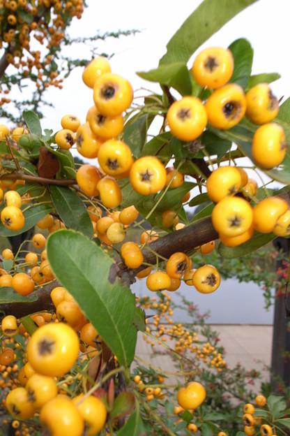 ピラカンサ  バラ科  (黄色)