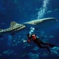 写真: ジンベイザメ・・・・・沖縄美ら海水族館