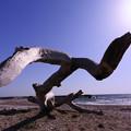 写真: 海と流木1