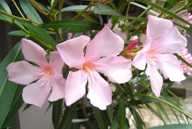 夾竹桃の花