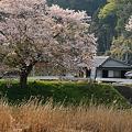 Photos: 氷上の一本桜・3
