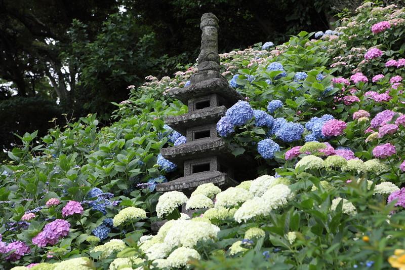 IMG_7133鎌倉_成就院・長谷寺のアジサイ