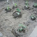 Photos: 140502-7 家庭菜園