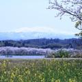 木場潟から白山  桜並木と菜の花