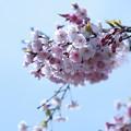 八重紅枝垂れ桜   青空に花束(o^^o)♪