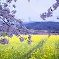 Photos: 菜の花畑と桜
