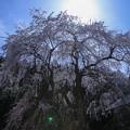 Photos: 千恵子桜(1)