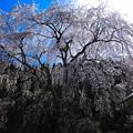 Photos: 千恵子桜(2)