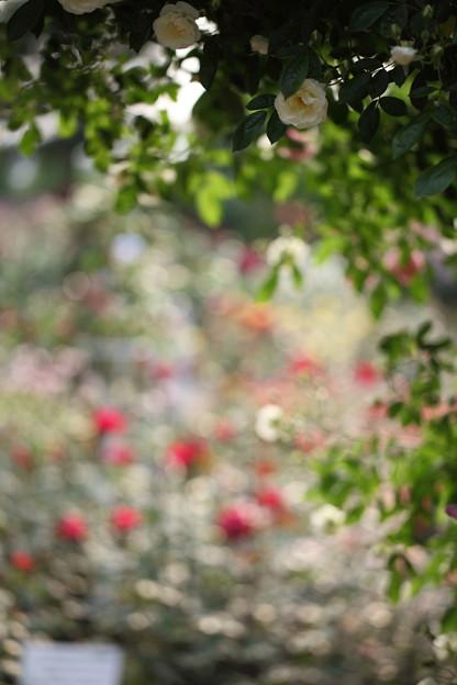 バラの花園とツルサマースノー