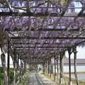 手賀沼の藤棚
