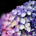 2色同株 紫陽花