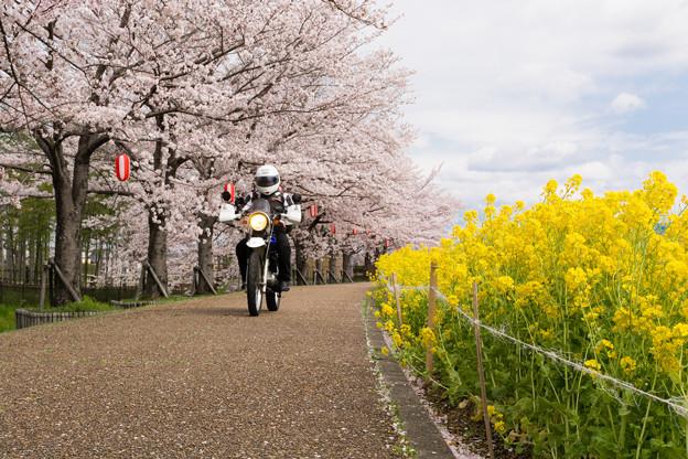 ご近所桜道で自撮り・3
