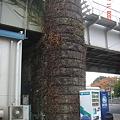 Photos: 東武線橋脚につたがからまっている。 浅草・向島 DSC00607