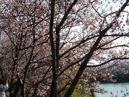 2009 2 10 寒桜 012