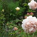 Photos: 090504 ばらの咲く庭