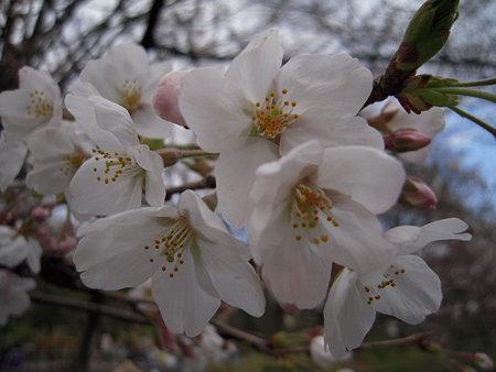 井の頭の桜 4