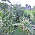 写真: ひまわり、このサイズで咲いてくれたらかすみ草とちょうど合うんだけどなぁ…