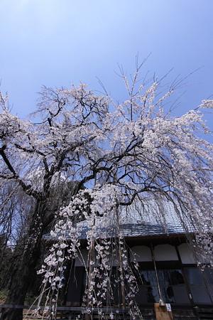 広角で撮った枝垂れ桜
