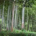 Photos: 高麗神社の竹林
