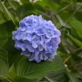 Photos: 高麗神社の紫陽花6