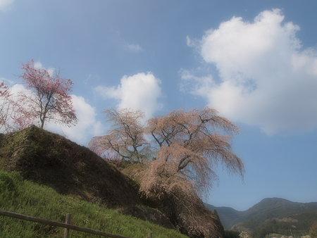 011_又兵衛桜