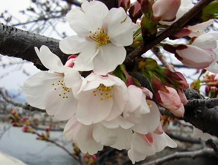 0803272平和公園の桜