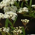 Photos: 八重咲きのこでまり