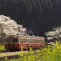 写真: 小湊鉄道の桜 11