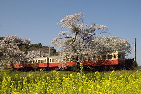 小湊鉄道の桜 12