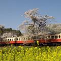 写真: 小湊鉄道の桜 12